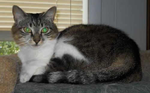 Domestic Short Hair - Ruby - Medium - Adult - Female - Cat