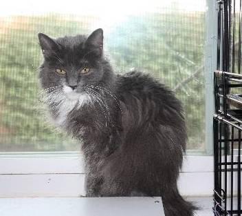 Domestic Long Hair - Sophia - Large - Adult - Female - Cat