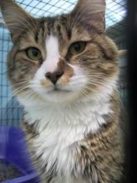 Domestic Medium Hair - Avery - Medium - Adult - Female - Cat