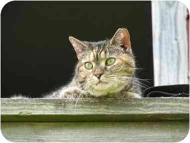 Domestic Short Hair - Beamer - Medium - Adult - Female - Cat