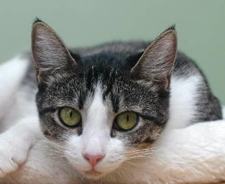 Domestic Short Hair - Rachel - Medium - Adult - Female - Cat