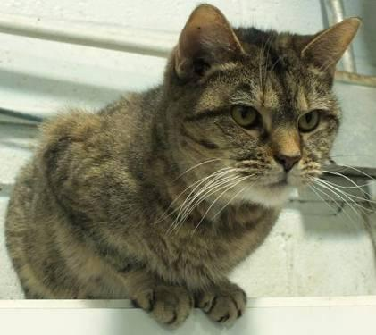 Domestic Medium Hair - Josephine - Medium - Adult - Female - Cat