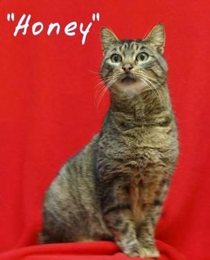Tabby - Brown - Honey - Large - Adult - Female - Cat