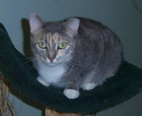 Domestic Short Hair - Roxie - Medium - Adult - Female - Cat