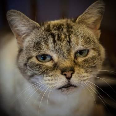 Domestic Short Hair - Lana - Medium - Adult - Female - Cat