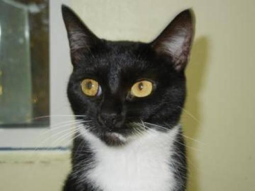 Domestic Short Hair - Aubrey - Medium - Adult - Female - Cat