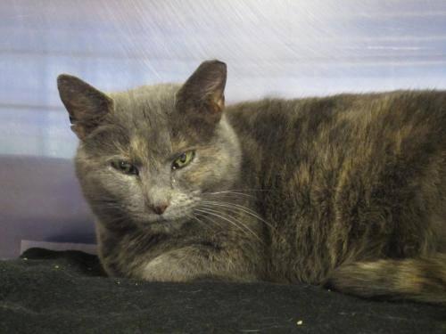 Domestic Short Hair - Hope - Medium - Adult - Female - Cat