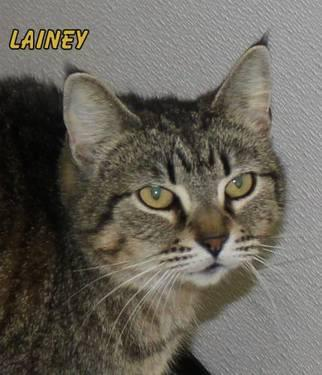 Domestic Short Hair - Lainey - Medium - Adult - Female - Cat
