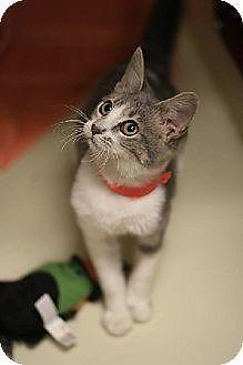 Domestic Short Hair - Cookie - Large - Adult - Female - Cat