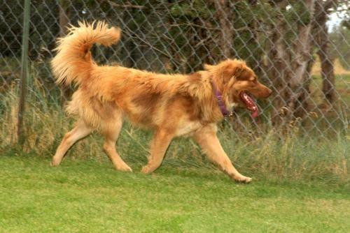 Chow Chow - Daisha - Medium - Adult - Female - Dog in Delta, Colorado