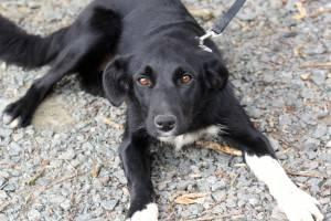 Collie - Pebbles Aka Carol - Large - Adult - Female - Dog