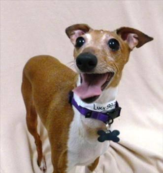 Italian Greyhound - Lucy - Medium - Adult - Female - Dog
