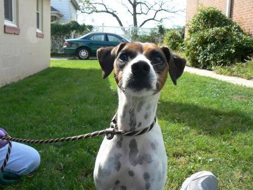 Jack Russell Terrier - Stella - Medium - Adult - Female - Dog