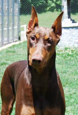 Doberman Pinscher - Bugsey - Large - Adult - Female - Dog