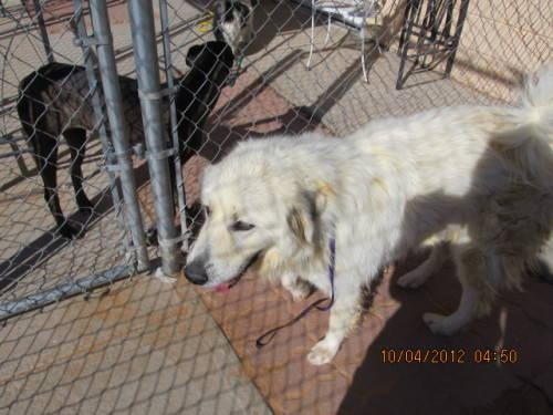 Great Pyrenees - Dove - Large - Adult - Female - Dog