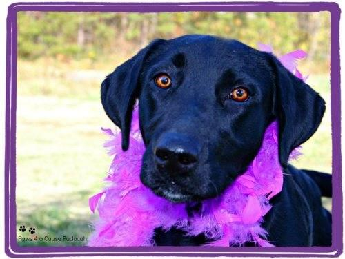 Labrador Retriever - Macey - Large - Adult - Female - Dog