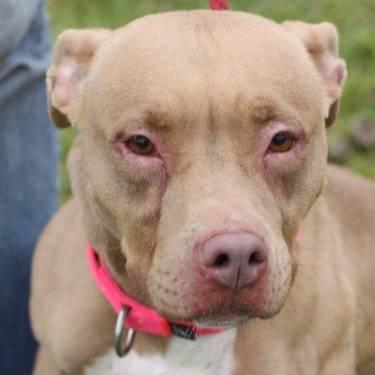 Pit Bull Terrier - Sasha - Medium - Adult - Female - Dog
