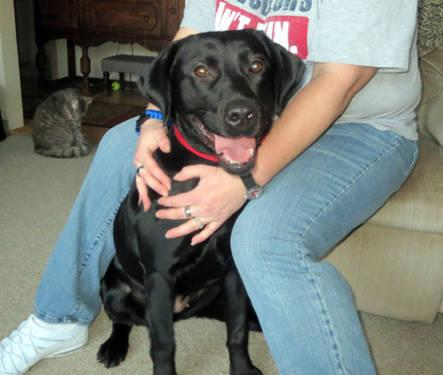 Labrador Retriever - Shady - Medium - Adult - Female - Dog