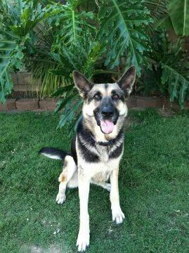 German Shepherd Dog - Bridget - Large - Adult - Female - Dog