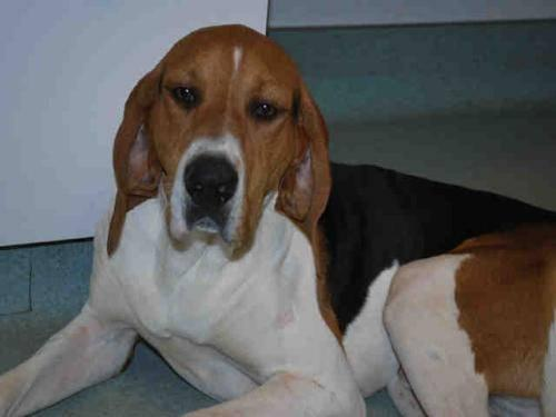 Coonhound - Lucy Bear - Large - Adult - Female - Dog
