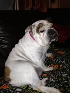 English Bulldog - Chloe - Medium - Adult - Female - Dog