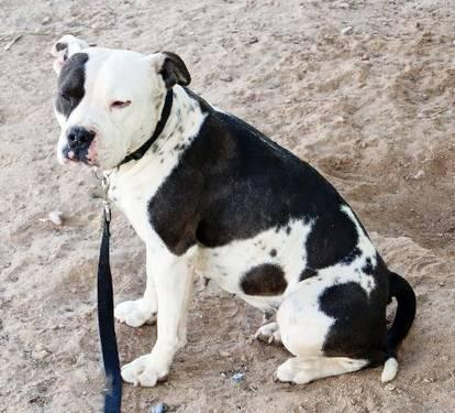 Pit Bull Terrier - Patches - Medium - Adult - Female - Dog