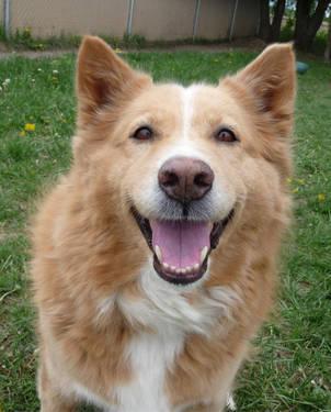Labrador Retriever - Millie - Extra Large - Adult - Female - Dog