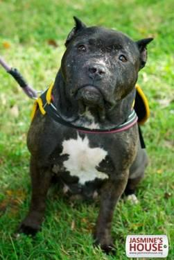 Pit Bull Terrier - Joanie - Medium - Adult - Female - Dog