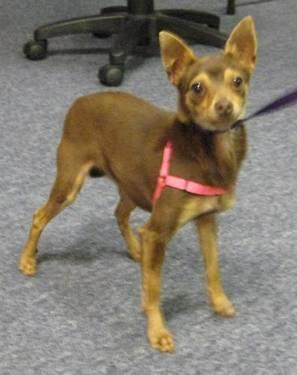 Miniature Pinscher - Princess - Medium - Adult - Female - Dog