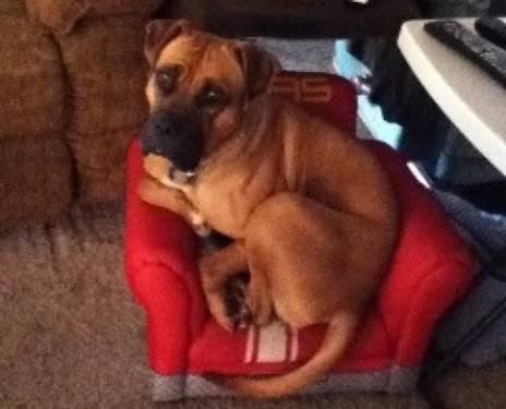 Boxer - Kodie - Extra Large - Adult - Female - Dog