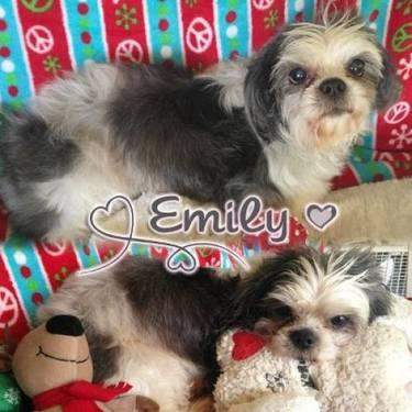 Shih Tzu - Sade - Small - Adult - Female - Dog