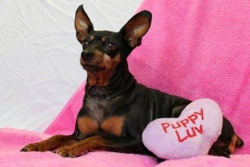 Miniature Pinscher - Terri - Small - Adult - Female - Dog