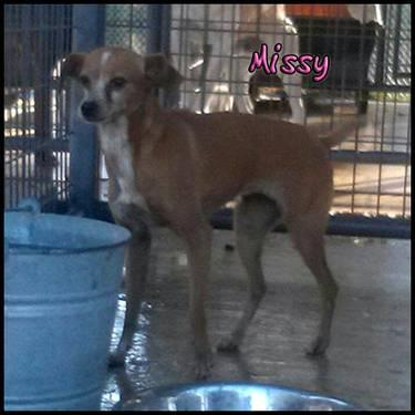 Italian Greyhound - Missy - Small - Adult - Female - Dog