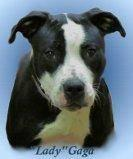 Pit Bull Terrier - Pittie - Large - Adult - Female - Dog