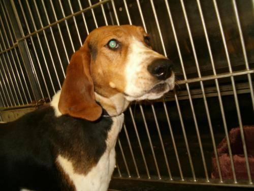 Treeing Walker Coonhound - Twila - Medium - Adult - Female - Dog