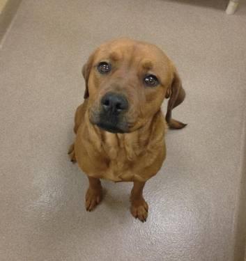 Boxer - 2-3 Boo - Large - Adult - Female - Dog