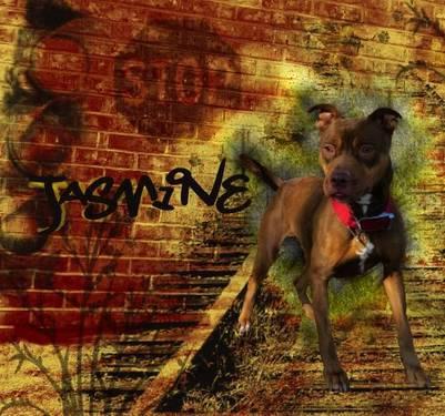 Pit Bull Terrier - Jasmine - Large - Adult - Female - Dog