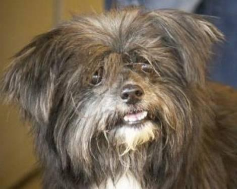 Shih Tzu - Fancy - Small - Adult - Female - Dog