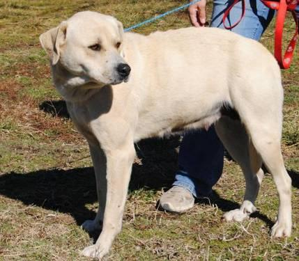 Great Pyrenees - Mavis - Large - Adult - Female - Dog