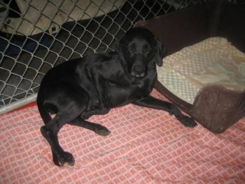Labrador Retriever - Evie - Medium - Adult - Female - Dog