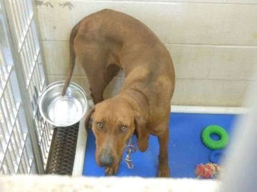 Redbone Coonhound - Maxine - Large - Adult - Female - Dog