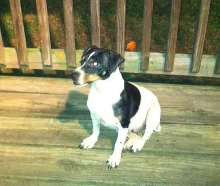 Jack Russell Terrier - Minnie - Small - Adult - Female - Dog