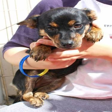 Manchester Terrier - Emma - Small - Adult - Female - Dog