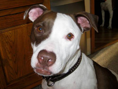 Pit Bull Terrier - Bluebelle - Medium - Adult - Female - Dog