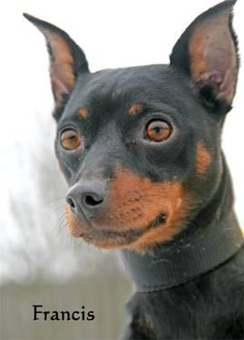 Miniature Pinscher - Peanut - Small - Adult - Female - Dog
