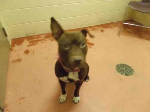Pit Bull Terrier - Jackie - Medium - Adult - Female - Dog