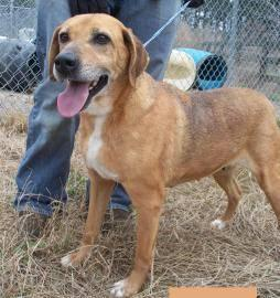 Labrador Retriever - Dottie - Medium - Adult - Female - Dog