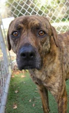 Black Mouth Cur - Gracie - Medium - Adult - Female - Dog