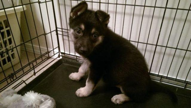 German Shepherd Dog - Aubrey - Medium - Adult - Female - Dog