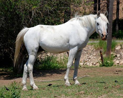Q Horses For Sale Arabian - Susie Q - La...